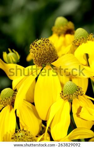 Yellow cosmos flower field - stock photo