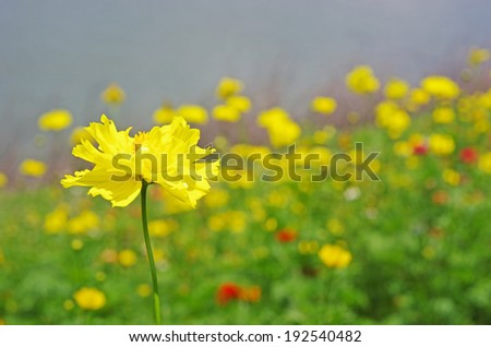 yellow cosmos flower in the flora garden - stock photo