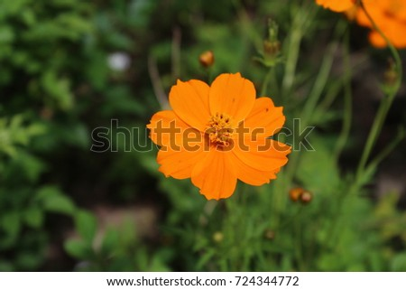 Yellow cosmos flower garden stock photo royalty free 724344772 yellow cosmos flower in the garden mightylinksfo