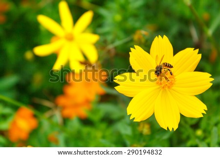 yellow cosmos flower with bee in the garden. - stock photo
