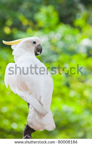Yellow-crested Cockatoo (Cacatua sulphurea)