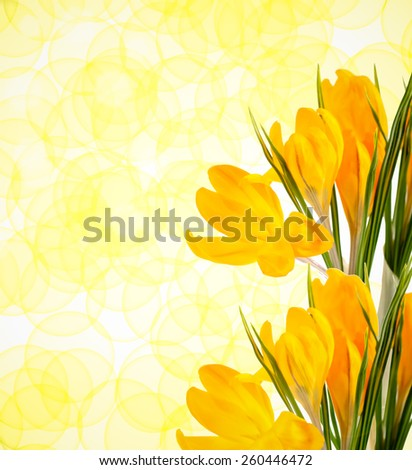 Yellow crocus flowers with leaves background - stock photo