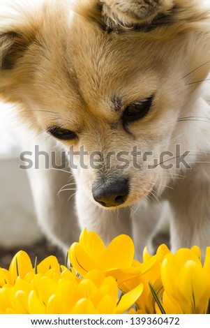 yellow crocus with puppy chihuahua - stock photo