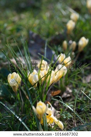 Yellow crocuses grow in the grass in the spring