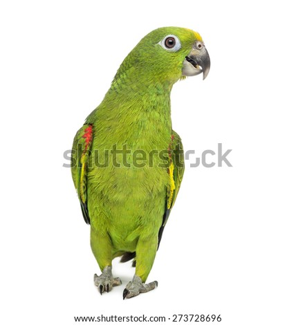 yellow-crowned amazon, Amazona ochrocephala, in front of a white background - stock photo