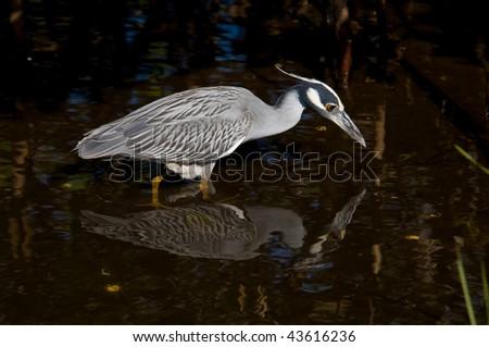Yellow-crowned Night Heron Fishing - stock photo