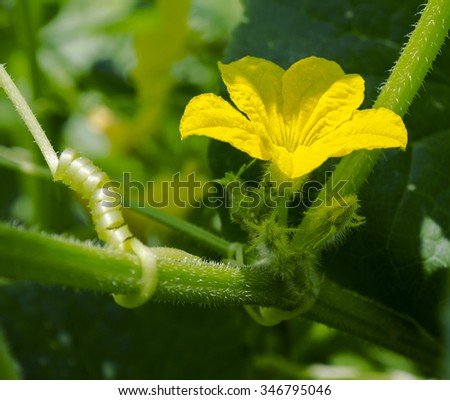Yellow Cucumber Flower in Bloom