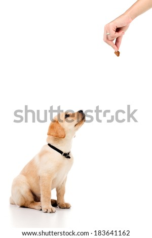 Yellow, cute little labrador baby sitting during obedience training and looking up at hand with cookie - stock photo