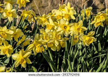 yellow daffodil. Blooming narcissus flowers. Spring flowers.  - stock photo