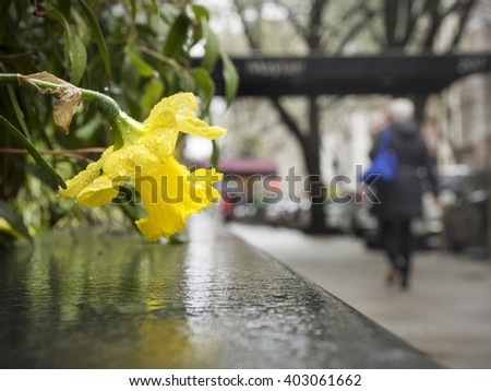 Yellow Daffodil in the Rain: A yellow Daffodil in along the sidewalk in New York City  - stock photo