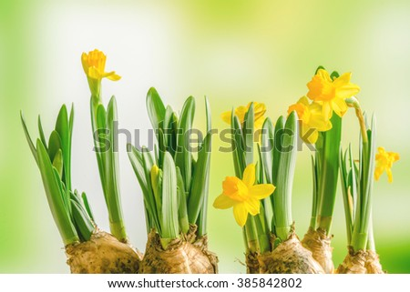 Yellow daffodil lilys on a green background in the spring - stock photo