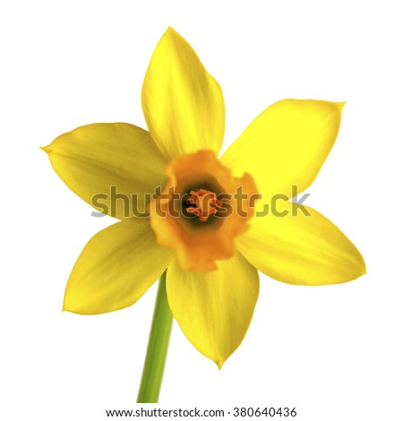 yellow daffodil, narcissus isolated on white background - stock photo