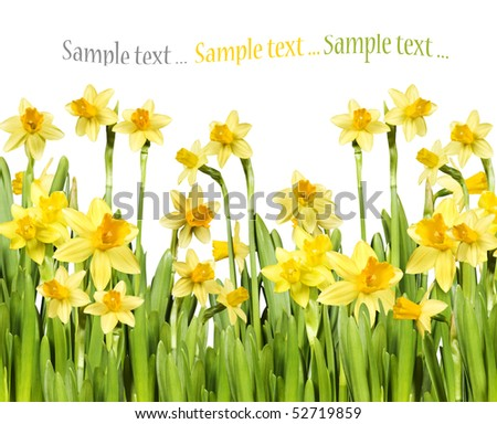 Yellow daffodils against white background with space for text