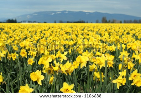 Yellow daffodils field - stock photo