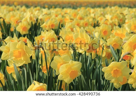 yellow daffodils, growing on fields in the flower industry area in Holland - stock photo