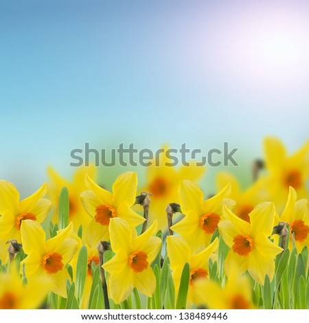 Yellow daffodils in grass. Summer background. Square image. - stock photo
