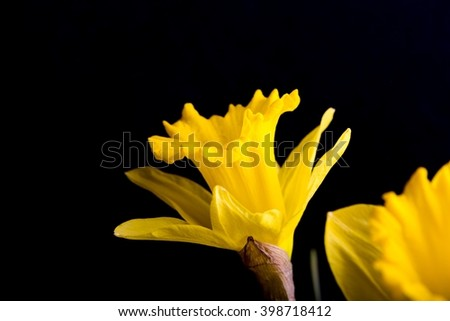 Yellow daffodils on black background. Natural springtime flowers - stock photo