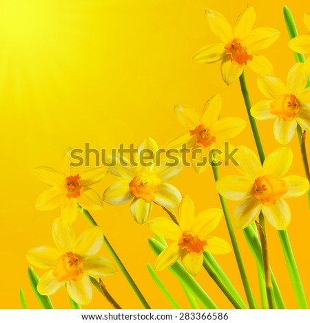 Yellow Daffodils on Easter blurred background. Square spring card with space for text