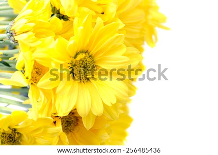 Yellow daisies flowers isolated on white with copy space - stock photo