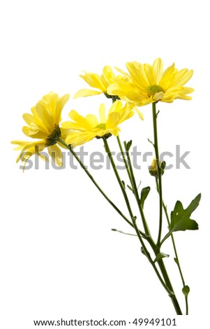 Yellow Daisies Isolated on White. Studio shot, perfect white isolated.