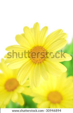 yellow daisy close-up isolated on white