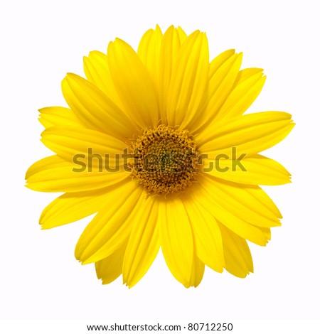yellow daisy flower isolated on white background - stock photo