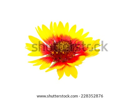 yellow daisy flower with red middle isolated on white background