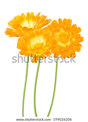 yellow daisy flowers over white