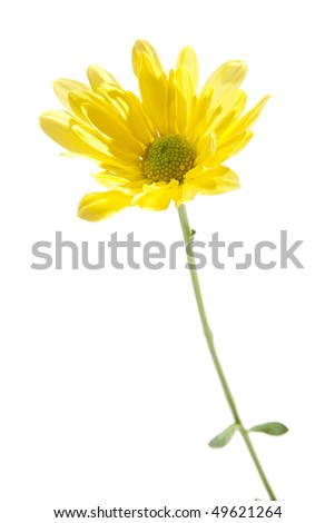 Yellow Daisy Isolated on White. Studio shot, perfect white isolated.