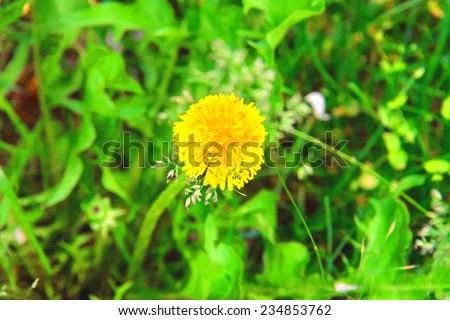 Yellow dandelion blooms in a field - stock photo