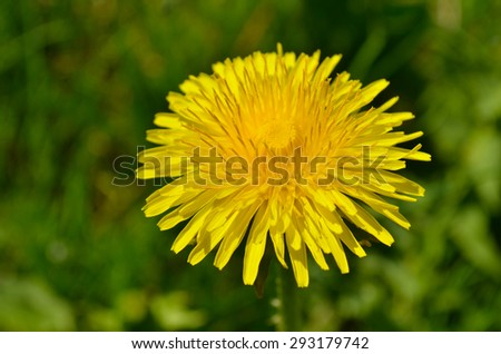 Yellow dandelion flower in green grass.  Floral background with yellow dandelion - stock photo