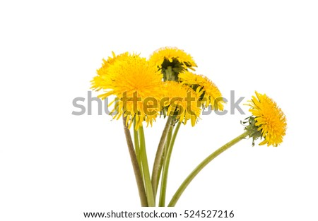 yellow dandelion flower on a white background