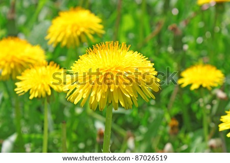 Yellow dandelion flowers with leaves in green grass, spring photo - stock photo