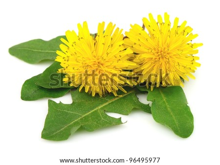 Yellow dandelion flowers with leaves on white - stock photo