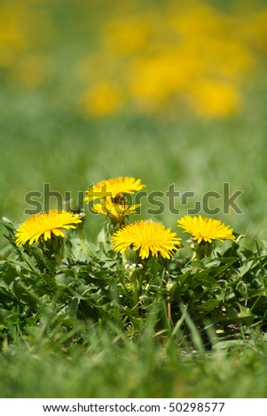 Yellow dandelion weeds in green lawn - stock photo