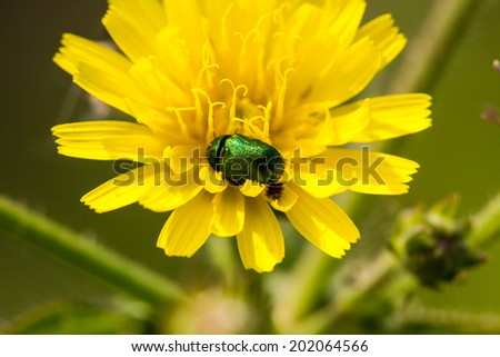 Yellow dandelion with green insect