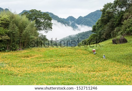 Yellow day lily garden on hill - stock photo