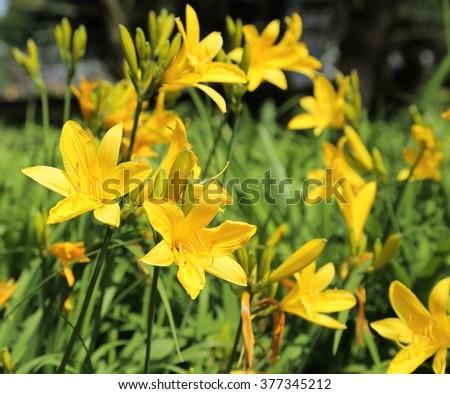 Yellow Day lily or Hemerocallis - stock photo