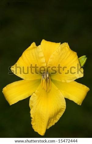 Yellow Daylily on dark green background