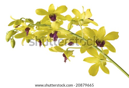 Yellow  Dendrobium Orchid on White Background.  Super clean white background-- professionally isolated with clean edges and no grey.  Carefully spotted and retouched.