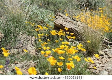 Yellow desert flowers stock photo royalty free 530016958 yellow desert flowers mightylinksfo