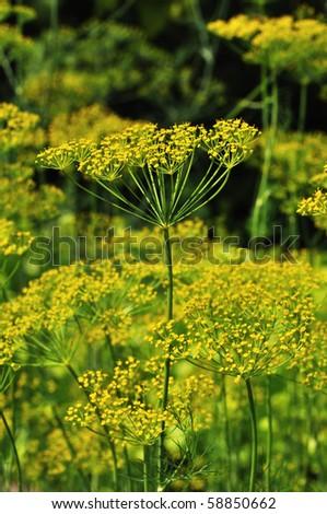 yellow dill - stock photo