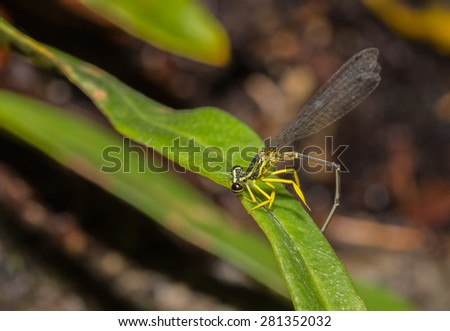 yellow dragonfly on the leaf
