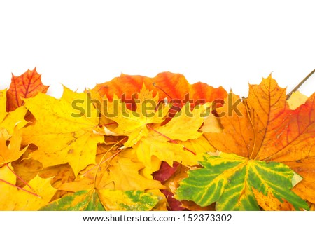Yellow dry maple leaves background on white, autumn