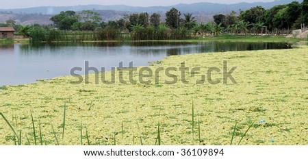Yellow duckweed on picturesque lake - stock photo