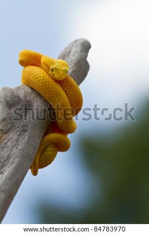 Yellow Eyelash Viper - stock photo