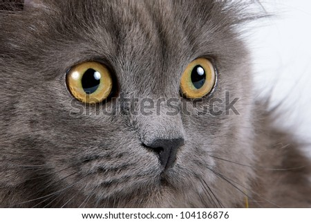 Yellow eyes of a gray fluffy cat