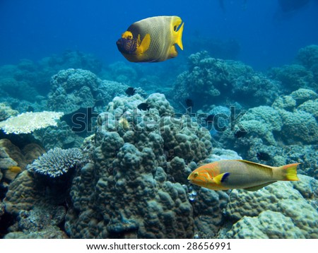 Yellow-faced Angelfish (Pomacanthus xanthometapon) and Rainbow colored Moon Wrasse(Thalassoma lunare) swimming over tropical coral reef.
