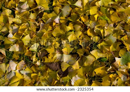 Yellow fall leaves - stock photo