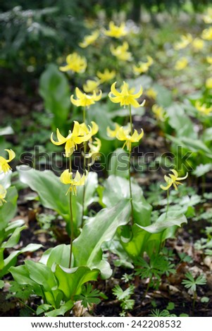 yellow fawn lily (erythronium) in a park. springtime. - stock photo